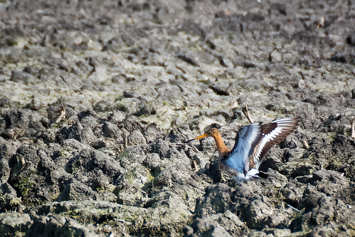 Godwit In The Dirt