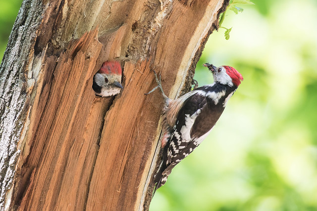 Middle Spotted Woodpecker, Dendrocopos medius.
