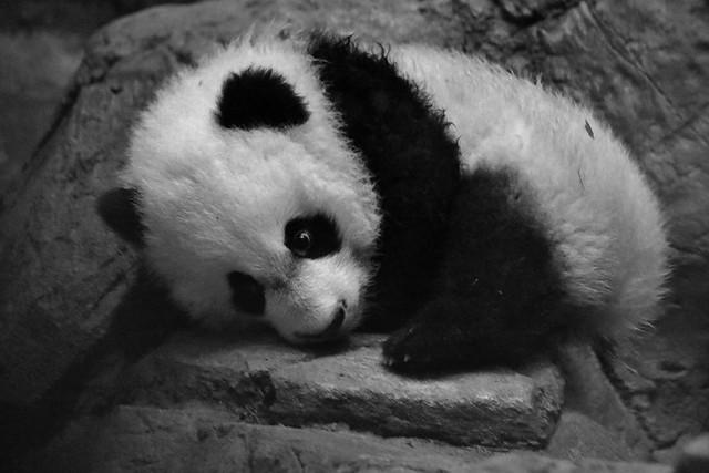Sleepy Baby Panda (IMG_9765)