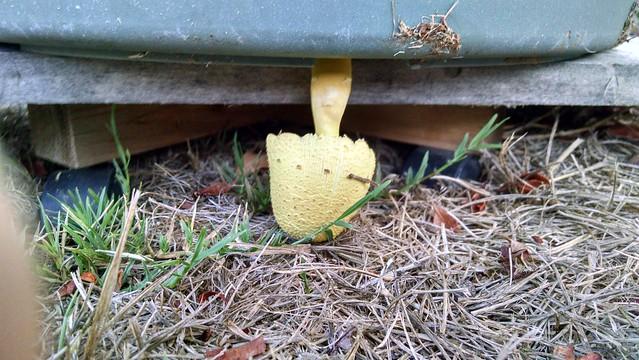 IMG_20150923_182117373_HDR mushroom below flower pot goleta