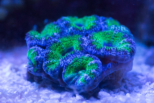 Purple and Green Lord Acan