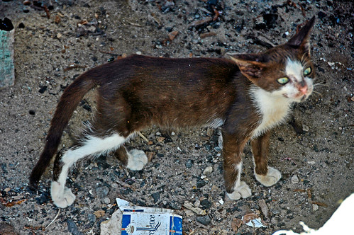 Last of the Senegalese Feral Cats | by EmperorNorton47