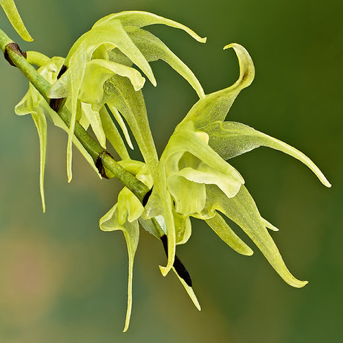059 Aeranthes sp | by Ambatovygallery