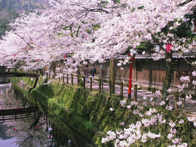 Kinosaki Onsen - Sakura
