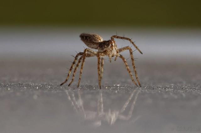 Tiny spider - Araignée minuscule (5mm) help id