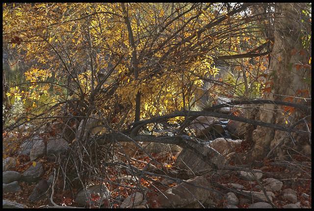Sabino Canyon 2015 #9; Autumn Thicket
