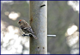 Lesser Redpoll (Carduelis cabaret), Male-