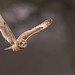 Short Eared Owl by www.craigrogers.photography