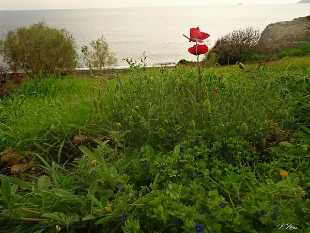 Poppies!!!!!...Charamida Lesbos Greece