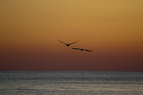 sunset sky usa bird gulfofmexico water nikon wasser unitedstates florida pelican brownpelican vogel fortwaltonbeach ftwaltonbeach pelecanusoccidentalis fwb okaloosacounty d5000 fisherbray