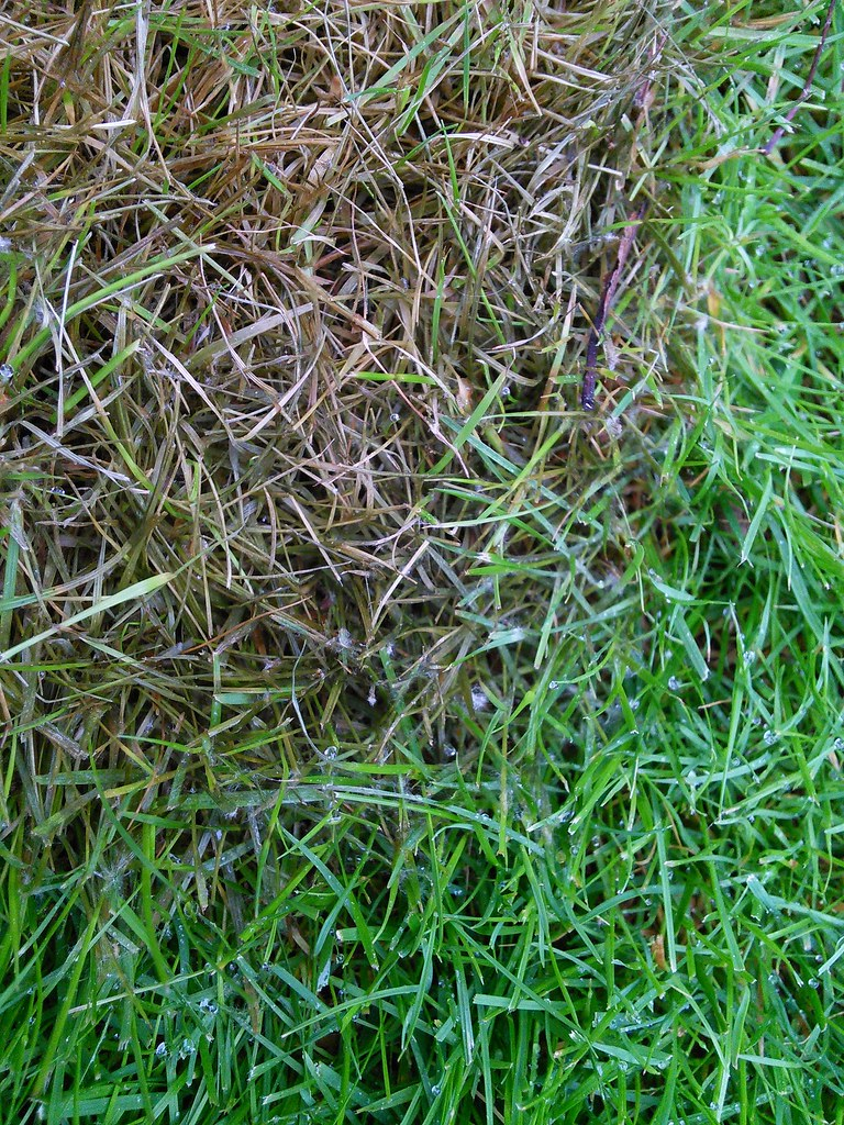 FUSARIUM PATCH DISEASE ON A LAWN FUSARIUM IS A COMMON FUNG