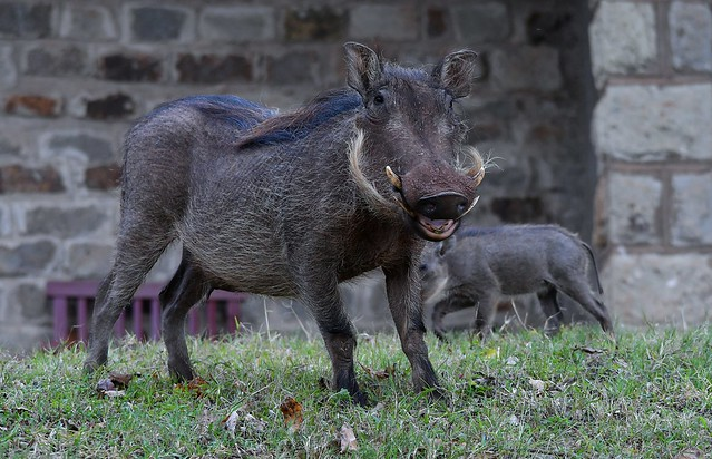 Warthog in the Aberdare Country Club gardens, Mount Kenya.