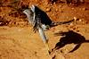 Ce drôle de faucon - This amazing hawk by Délirante bestiole [la poésie des goupils]
