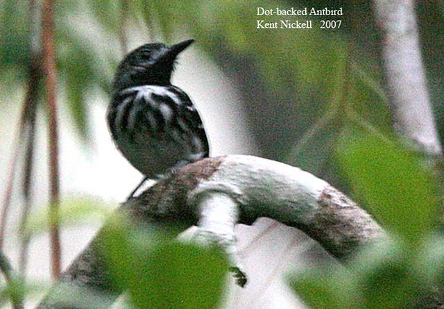Dot-backed Antbird (Hylophylax punctulatus)