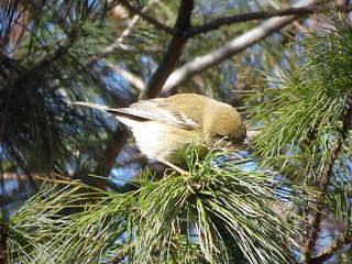 Pine Warbler   by Justin Lee (NoNameKey)
