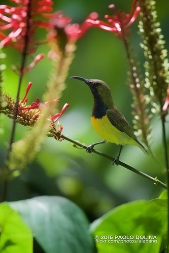 Olive-backed sunbird (Cinnyris jugularis) | by Paolo Dolina