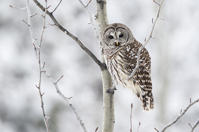 Gloomy Winter Day Barred Owl