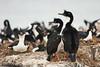 Imperial Cormorant (Phalacrocorax atriceps) by Sergey Pisarevskiy