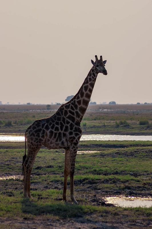 Giraffe in Kasane