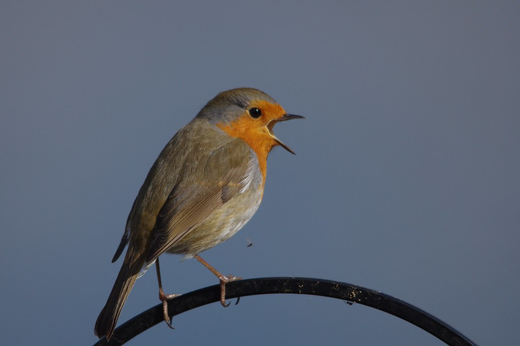 IMGP4933 Robin, Paxton Pits, March 2016