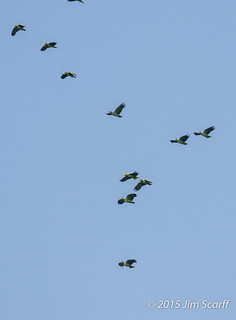 Mealy and Yellow-crowned Parrots flying overhead (not coming to the salt lick) | by Jim Scarff