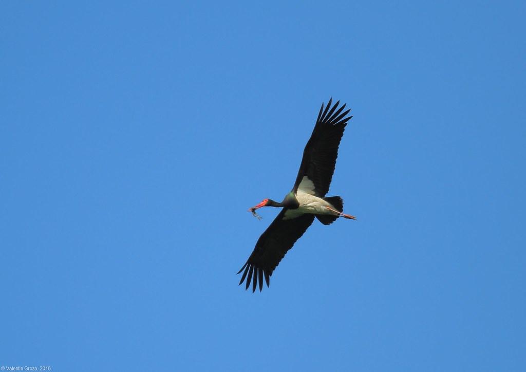 black stork with frog 4