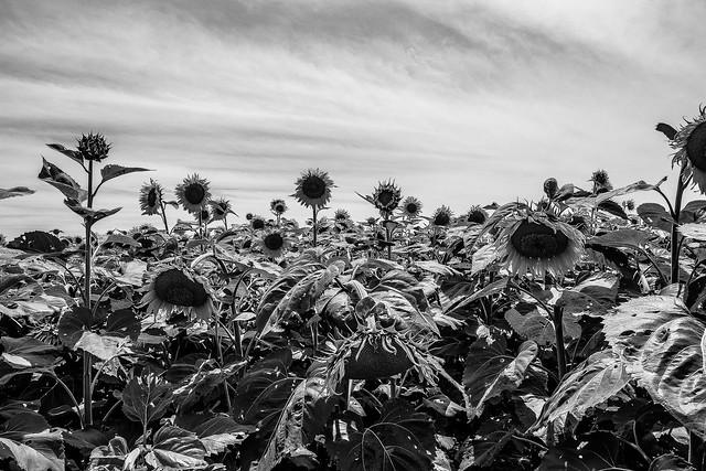 Depressed sunflowers
