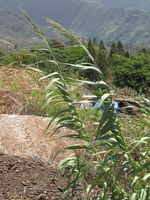 starr-090803-3578-Arundo_donax-flowering_habit_near_dirt_pile-Iao_Stream_Wailuku-Maui