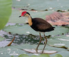 Comb-Crested Jacana (Irediparra gallinacea) (adult) (25 centimetres).01 by Geoff Whalan