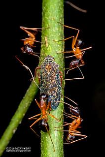 Leafhopper (Coelidiini) - DSC_6493