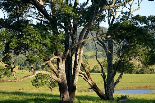 phyllanthaceae bridelia brideliaexaltata scrubironbark brushironbark greybirch remnanttrees paddocks australianrainforesttrees australianrainforestplants arfp qrfp nswrfp dryarf subtropicalarf australiantrees landscape homeleigh richmondvalley northernrivers nsw australia australianlandscape australiasbiggesttrees