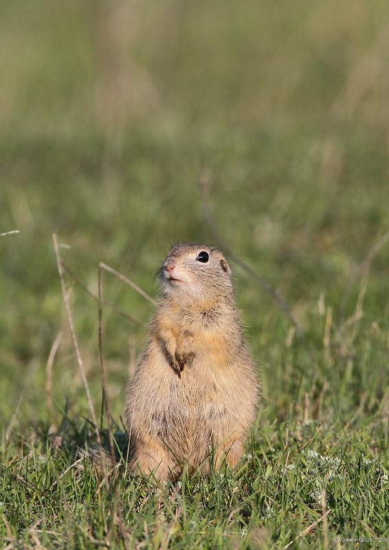 European ground squirrel 04