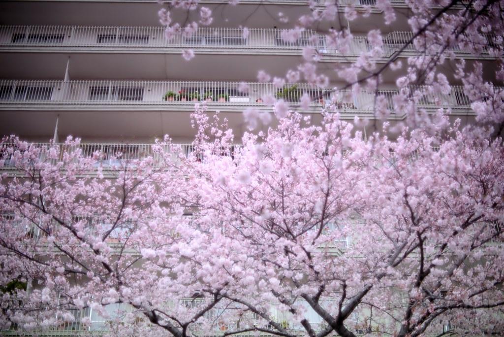 2016-04-02,播磨坂さくら並木,東京