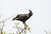 Long-crested Eagle (Lophaetus occipitalis) by Sergey Pisarevskiy