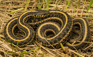 Plains Garter Snake | by C. harrisoni