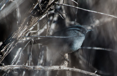Crappy picture of a California Gnatcatcher | by Laura Erickson