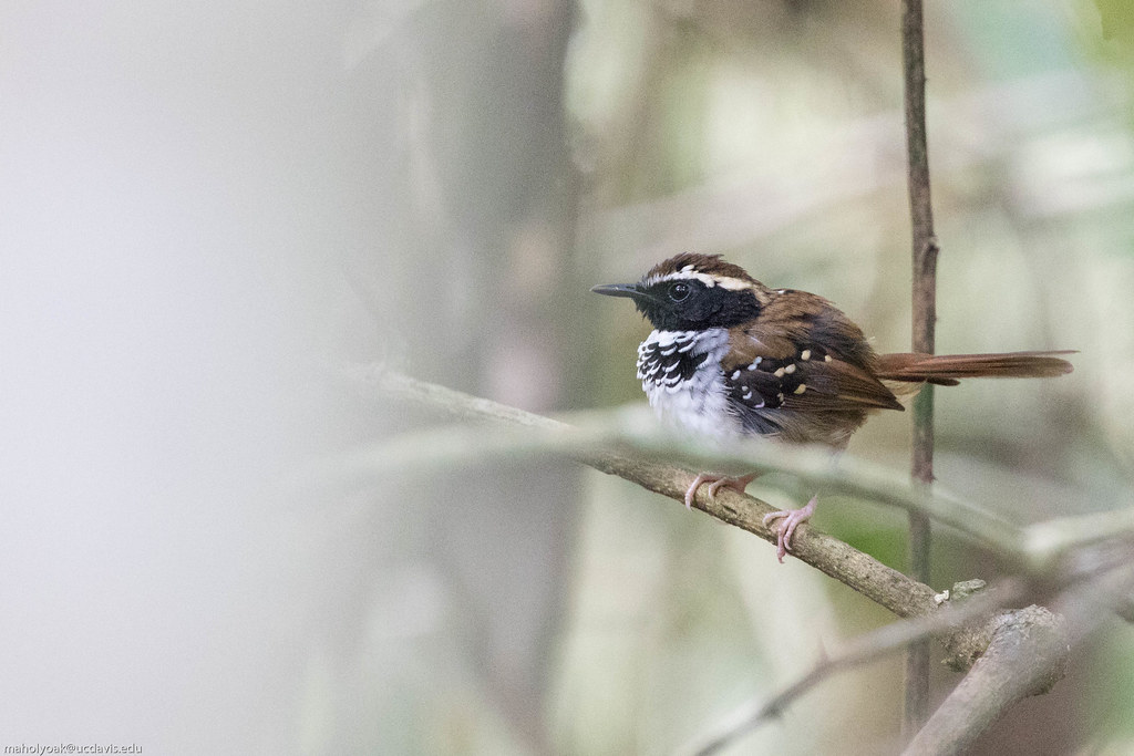 White-bibbed Antbird (Myrmeciza loricata), Reserva Mata do Passerinhos, Bahia, BR, 20160124-101.jpg