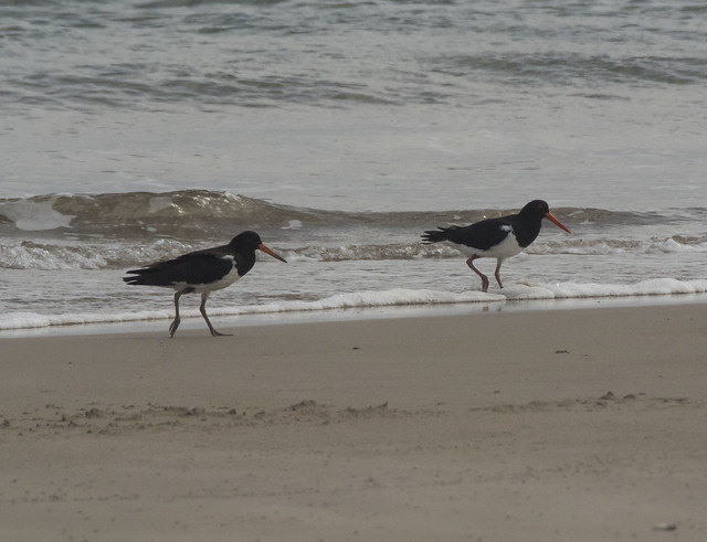 Pied Oyster-Catchers