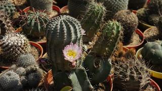 Cactus Flower | by Kodak Agfa
