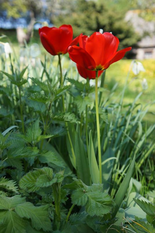 Hej-lille-tulipan