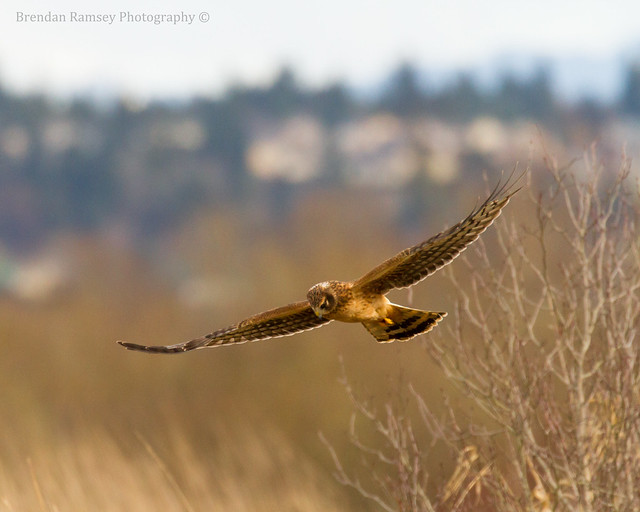 Harrier hawk in flight.