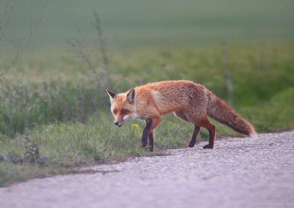 wild red fox 5