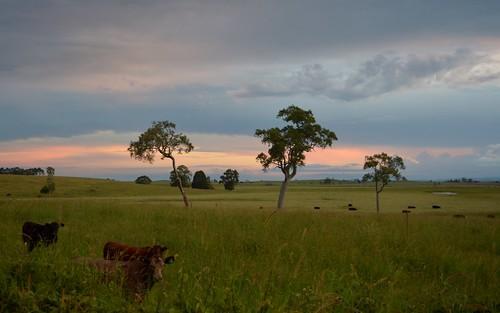 landscape cattle australia nsw paddocks northernrivers richmondvalley swampbox lophostemonsuaveolens