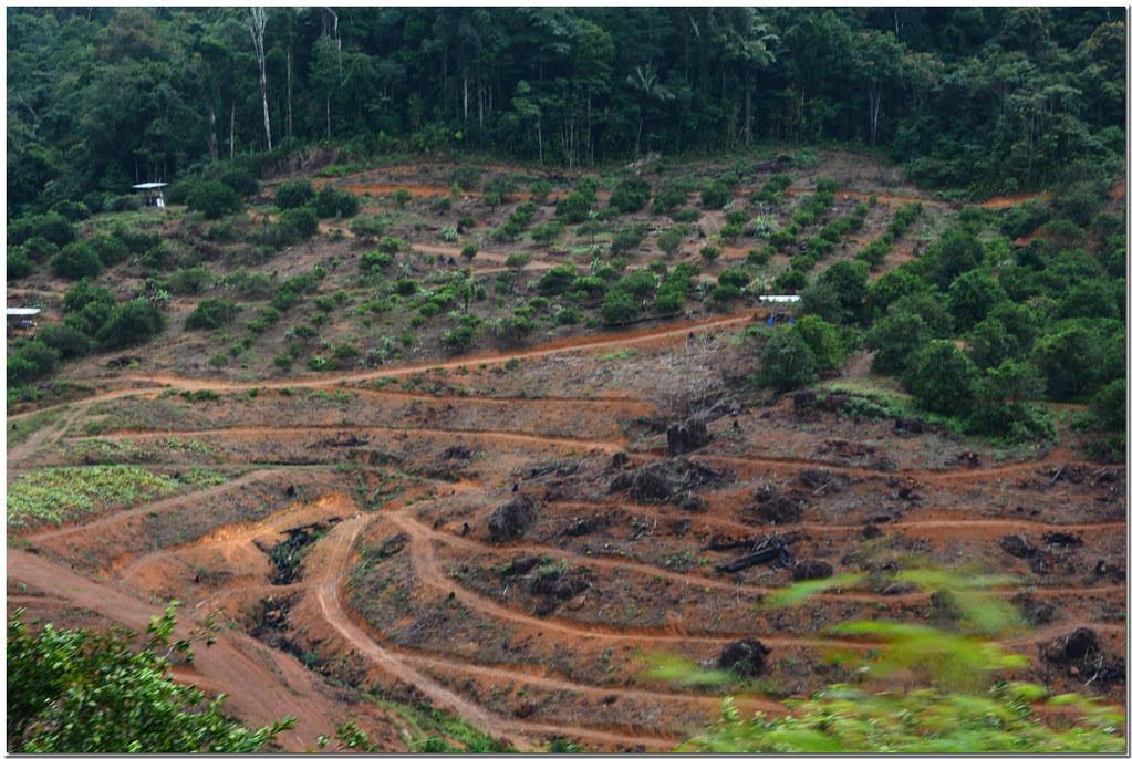 Guyane (déforestation pour plantations arbres fruitiers)