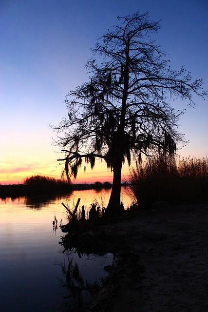 Silhouette Swamp Tree