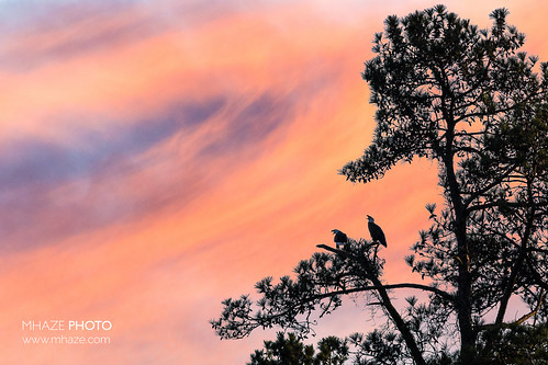 pink blue sunset sky bird silhouette eagle pair baldeagle raptor eagles raptors birdsofprey americanbaldeagle mhazephoto