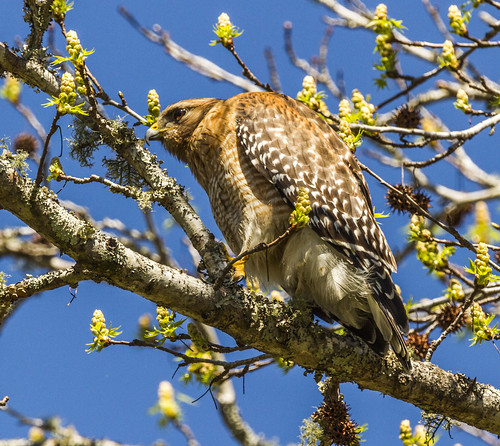 bird florida hawk redshoulderedhawk sigma150600