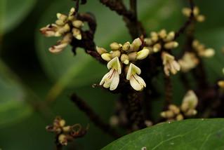 Aganope lucida