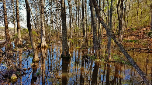 cypress patuxentriver cypressswamp jugbay jugbaynaturalarea patuxentriverpark cypressswamps marylandwetlands americanwetlands marylandswamps