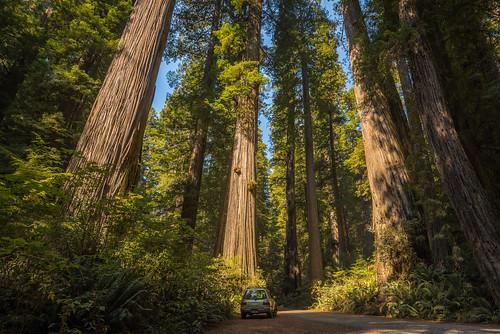 california road trees car giant us unitedstates tall redwood crescentcity coastalredwood sequoiasempervirens